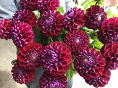 Highlighted image: Aan tafel met... dahlia 'Ivannetti'