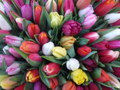 Highlighted image: Actueel aanbod plantgoed tulp